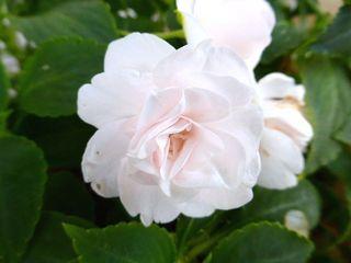 インパチェンス八重咲き:杉並区_640.jpg
