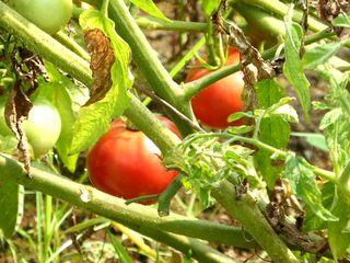 夏野菜トマト4_640.jpg