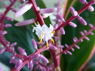 ドラセナの花が一輪・杉並区2_640.jpg