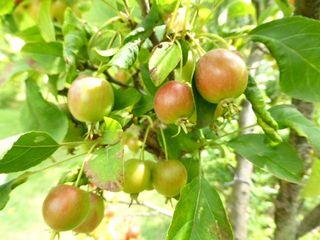 ヒメリンゴ:アルプス乙女_640.jpg