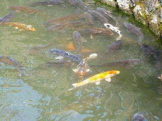 池の鯉_640.jpg