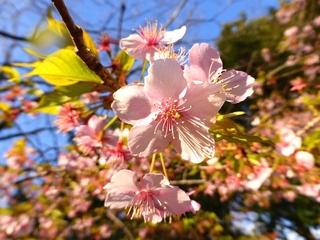 桜9_640.jpg