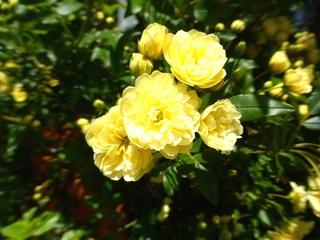 モッコウバラ(木香薔薇)2_640.jpg