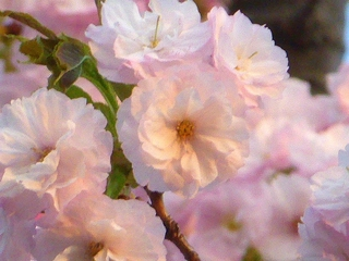 八重桜4_640.jpg