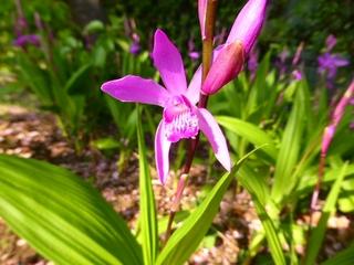 紫蘭8_640.jpg