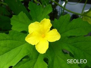 ゴーヤの花3_640.jpg