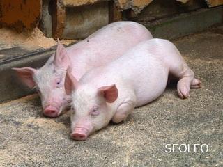 豚さん_640.jpg