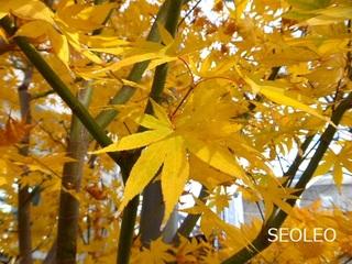 黄色いモミジ_640.jpg