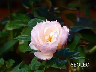 四季咲きバラ?_640.jpg
