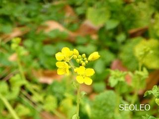 菜の花_640.jpg