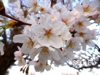 桜・満開_640.jpg