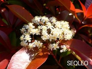紅カナメモチの花2_640.jpg