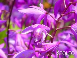 紫蘭5_640.jpg