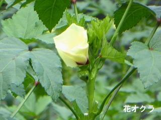花オクラ2_640.jpg