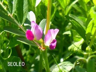 カラスノエンドウ(烏野豌豆)11_640.jpg