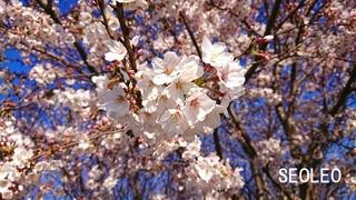 桜15_640.jpg