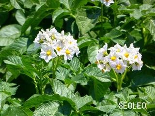 ジャガイモの花11_640.jpg