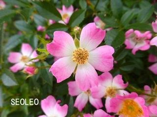 バラ・花便り_640.jpg
