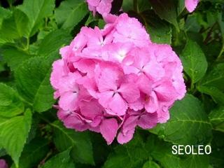 紫陽花11_640.jpg