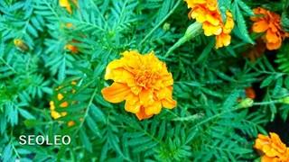 マリーゴールド・オレンジボーイ_640.jpg