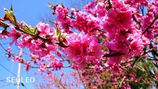桃の花18_640.jpg