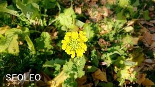 菜の花32_640.jpg
