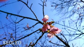 寒桜62_640.jpg